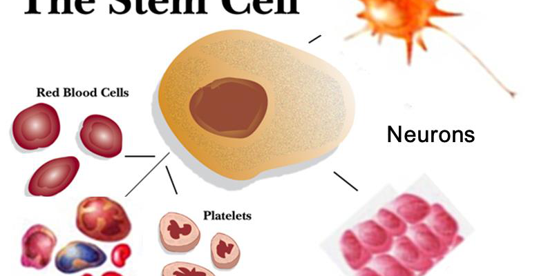 Stem Cells: What Do They Do?
